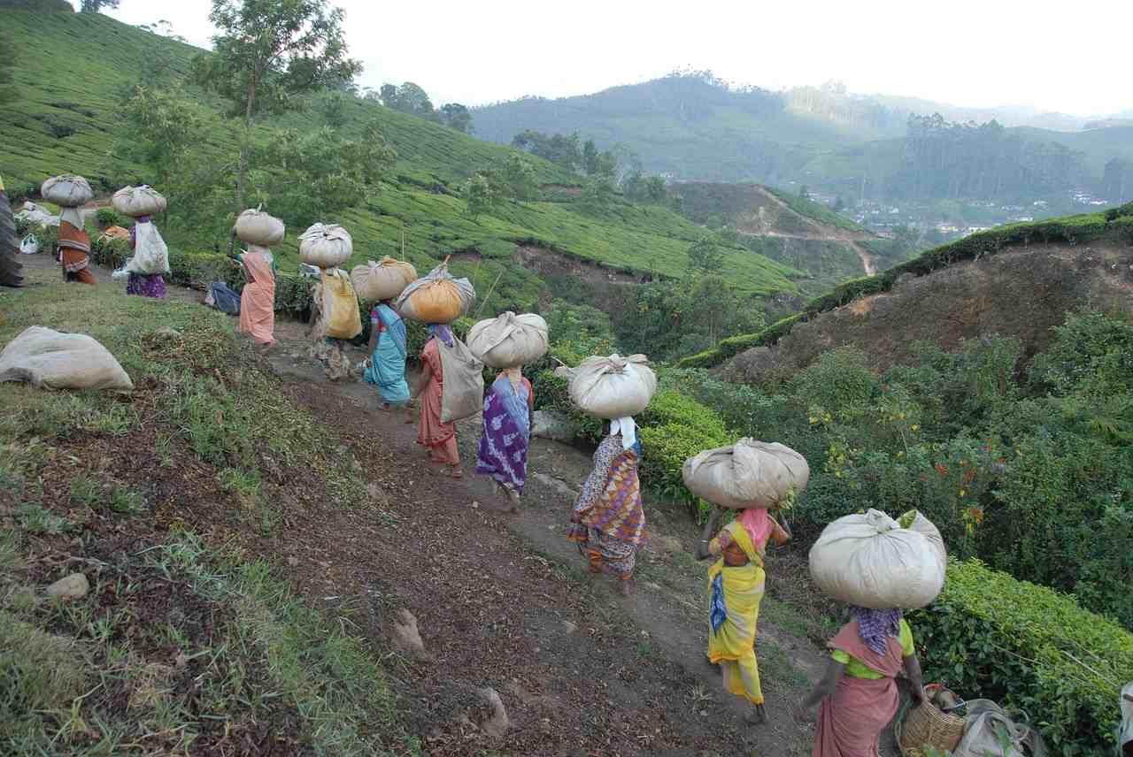 Bengal's Tea Estates