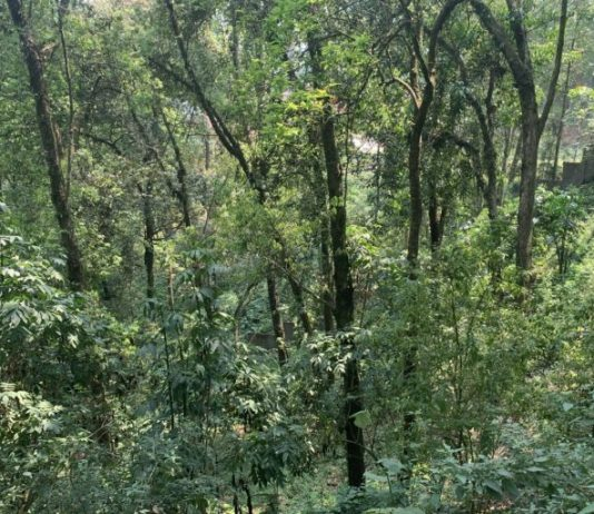 Temperate broad-leaved forests at Enchey monastery dominated by Eurya acuminata, and Cryptomeria japonica. Photo by Bijayalaxmi et.al.