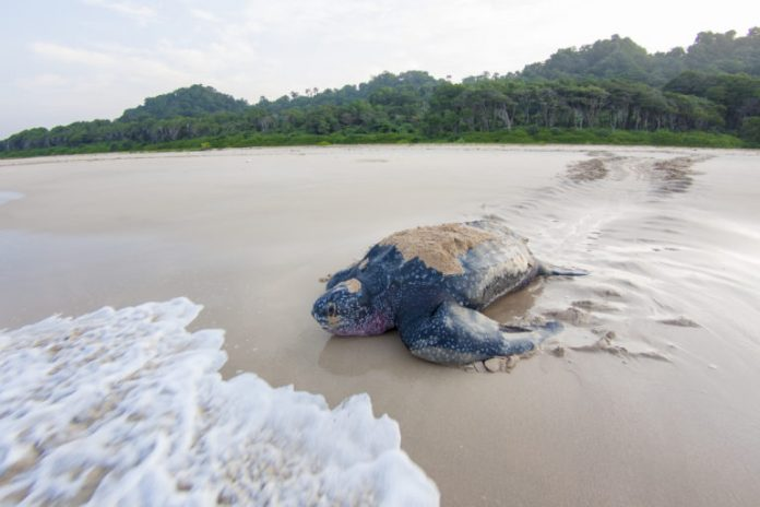 A research team monitored nesting sites on Little Andaman Island and tagged leatherbacks using satellite transmitters. Image by Adhith Swaminathan.